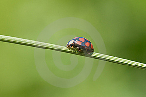 Ladybug On Grass Stem Stock Photos - Image: 8260183
