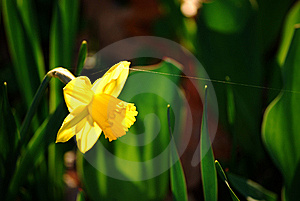 Daffodil And Spider's Snare Stock Photography - Image: 8260632