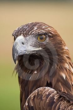 Golden Eagle Face Royalty Free Stock Photos - Image: 8261388