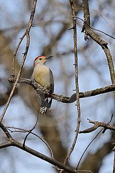 Red Bellied Woodpecker Stock Images - Image: 8263124