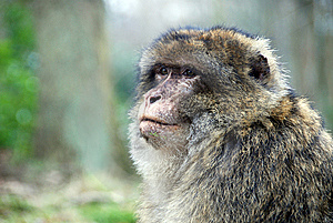 Barbary Ape Royalty Free Stock Photography - Image: 8265197
