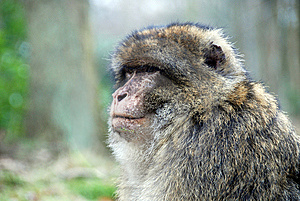 Barbary Ape Royalty Free Stock Photo - Image: 8265225