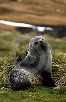 Seal Royalty Free Stock Photos - Image: 8268128