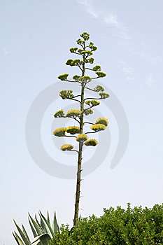 Agave Royalty Free Stock Image - Image: 8268566
