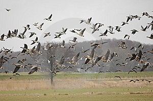 Wild Geese On The Run Stock Photo - Image: 8270140