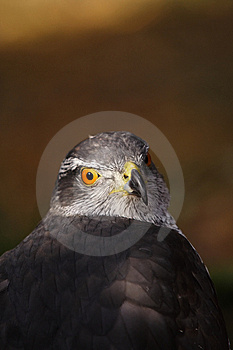 Majestic Hawk Stock Photo - Image: 8271020