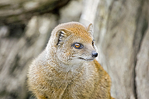 Yellow Mongoose Royalty Free Stock Photography - Image: 8274597