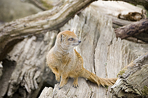 Yellow Mongoose On A Tree Stock Photos - Image: 8274603