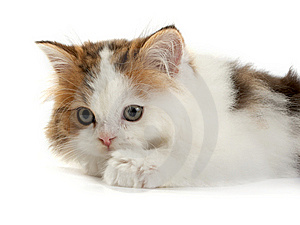 Kitten Scottish  Straight Stock Image - Image: 8277121