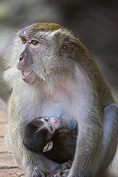 Thirsty Monkey Royalty Free Stock Image - Image: 8278016