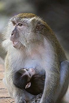 Thirsty Monkey Royalty Free Stock Image - Image: 8278016