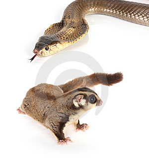 Sugar Glider On White Royalty Free Stock Photos - Image: 8280058