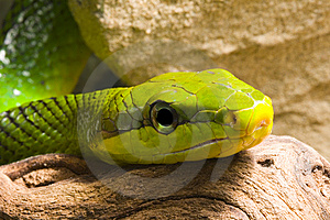Red Tailed Racer Stock Photo - Image: 8280200