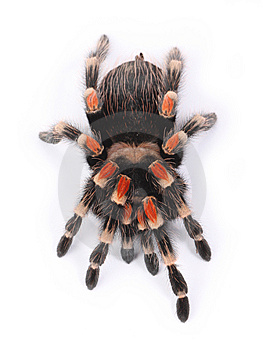 Tarantula Royalty Free Stock Images - Image: 8280499