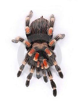 Tarantula Royalty Free Stock Images - Image: 8280499