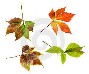 Leafage Of Wild Grape Royalty Free Stock Photo - Image: 8280945