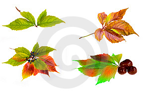 Leafage Of Wild Grape Stock Photos - Image: 8280983