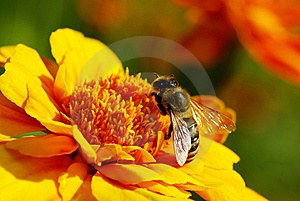 Bee Royalty Free Stock Images - Image: 8282759