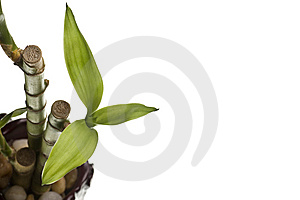 Lucky Bamboo Isolated Stock Image - Image: 8286401