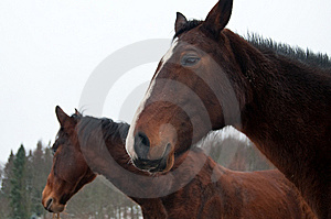 Horses Royalty Free Stock Images - Image: 8289099