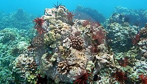 Red Urchins Stock Image - Image: 8293241