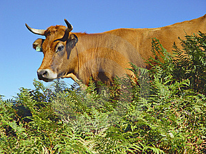 Cow In The Picos De Europa Stock Photo - Image: 8298550