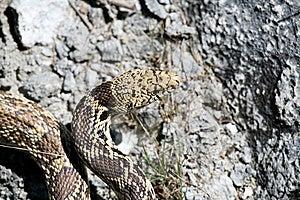 Bull Snake Stock Photo - Image: 830830