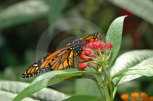 Monarch On Red Flowers Stock Photo - Image: 831830