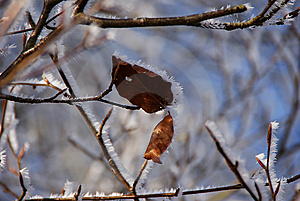 Frosty Leaves Royalty Free Stock Images - Image: 8302439