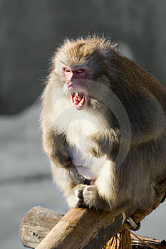 Laughing Monkey Royalty Free Stock Image - Image: 8302826