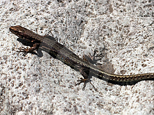 Lizard On The Rock Royalty Free Stock Photography - Image: 8304967
