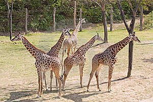 Young Giraffes On The Lookout Stock Images - Image: 8307134