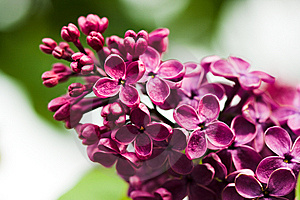Bunch Of Lilac Flower Stock Photo - Image: 8307930