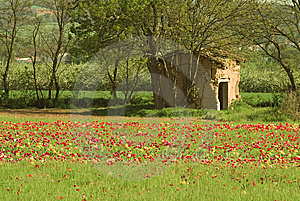 Stone Shed And Tulip Field Royalty Free Stock Photo - Image: 8308225