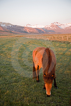 Iceland Horse Royalty Free Stock Images - Image: 8309459