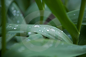 Dew Drops On Tulip Leaves Stock Image - Image: 8309541