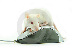 Rat On Computer Mouse Royalty Free Stock Photo - Image: 8312455