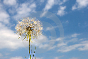 Large Blowball Royalty Free Stock Images - Image: 8317789