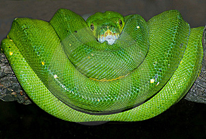 Green Tree Python Royalty Free Stock Image - Image: 8323216