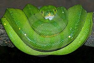 Green Tree Python Royalty Free Stock Image - Image: 8323216