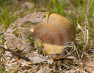 Single Cep Mushroom Stock Image - Image: 8327091
