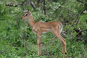 Impala Fawn Royalty Free Stock Photography - Image: 8329367