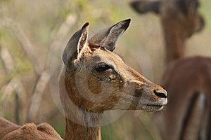 Impala Stock Images - Image: 8329514