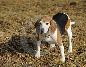 Alert Beagle Stock Photo - Image: 8331620