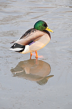 Duck  In  Water Stock Images - Image: 8335424
