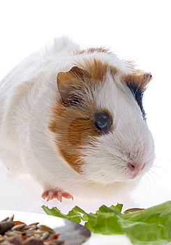 Guinea Pig Stock Photography - Image: 8335492