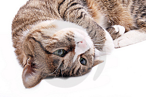 Cat Royalty Free Stock Photography - Image: 8335637