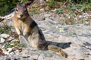 Squirrel Royalty Free Stock Photography - Image: 8335647