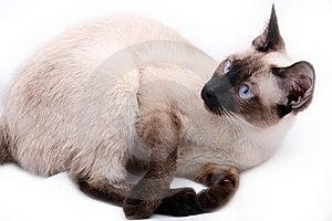 Siamese Cat Stock Image - Image: 8335721