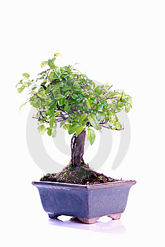 Bonsai Tree Stock Photography - Image: 8338512